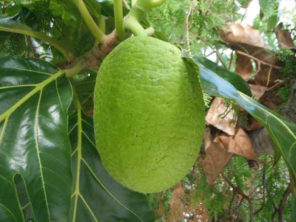 Breadfruit on a breadfruit tree.