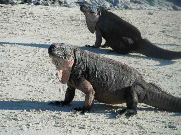 Exuma Iguana.