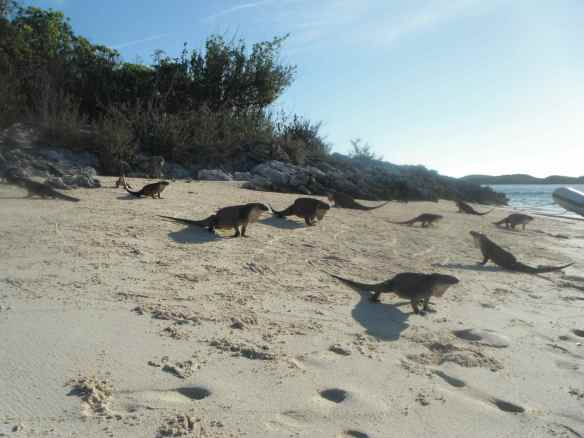 Iguanas on Allen's Cay.