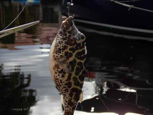 A Checkered Puffer we caught.