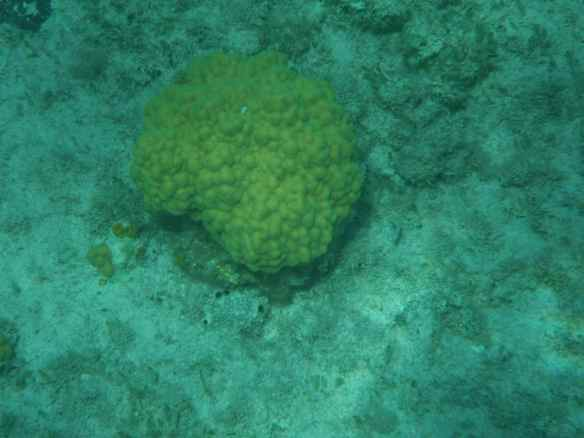 Mustard Hill Coral