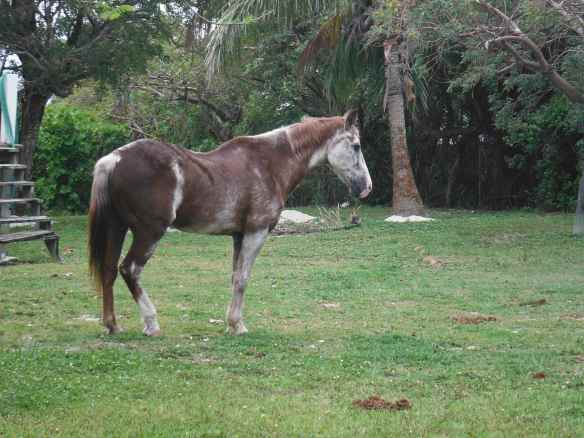I have not seen a horse in 7 months until I saw this one on Green Turtle Cay.  He is obviously quite old and roams the island freely.  No one that I have talked to yet knows the story of the horse.