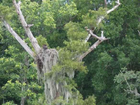 Osprey nest.