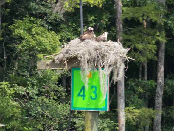 Osprey nest on one of the green ICW signs which mark the ocean side of the channel.