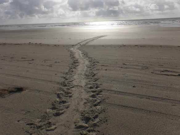 This is the track a loggerhead turtle made that evening returning to the sea after laying her eggs.