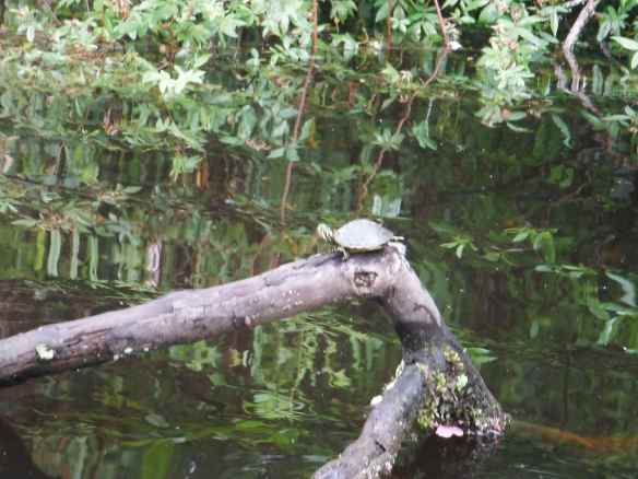 Baby painted turtle we saw while taking our dinghy up a channel.
