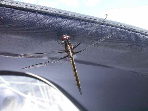 Dragonfly catching a ride on Truansea.