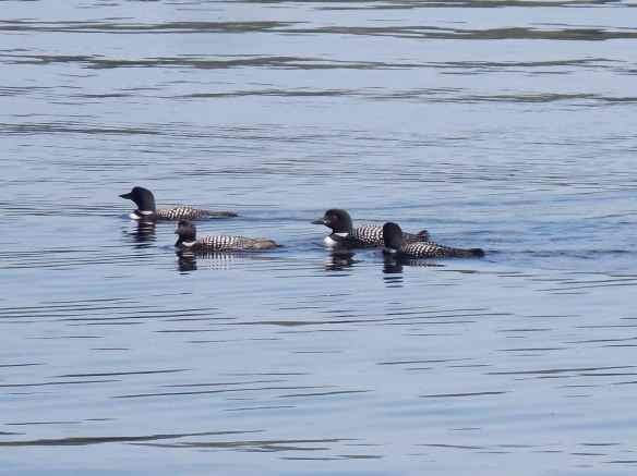 Loons on the lake.  I have not heard loons since I was a kid camping in northern Wisconsin.  If you have never heard one, you need to.   It is indescribable.  It ranks right up there with hearing elk bugling and howler monkeys calling.